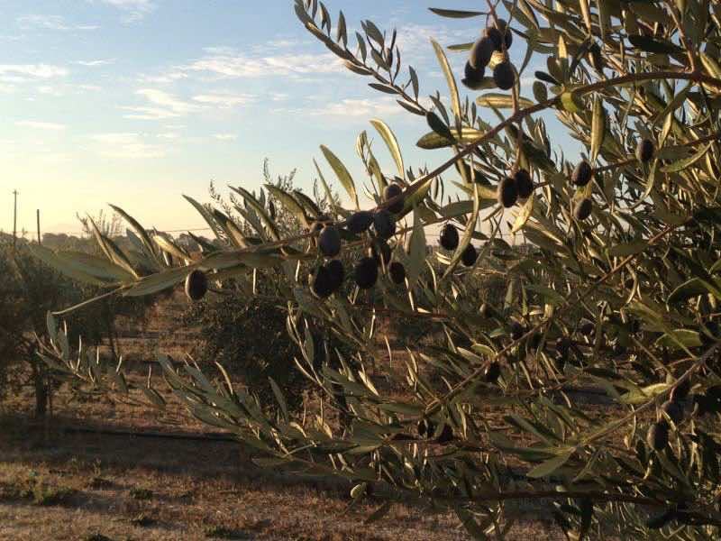 IL Fioello Olive Groves | Cooking-Outdoors.com | Gary House