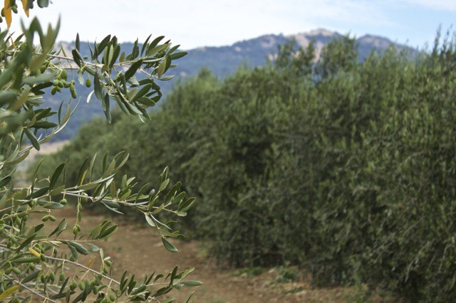 Il Fiorello Olive Grove | Traveling4Food | Gary House