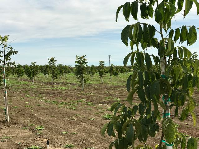 Newly Planted Walnut Orchard | Traveling 4 Food | Gary House