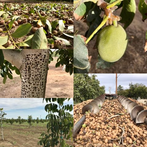 Passion, Technology and Water, Behind the Scenes of Walnut Farming