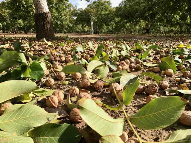 Walnuts Ready to be Gathered | Traveling 4 Food | Gary House