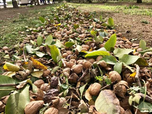 Walnuts Swept into a Row   Traveling 4 Food   Gary House